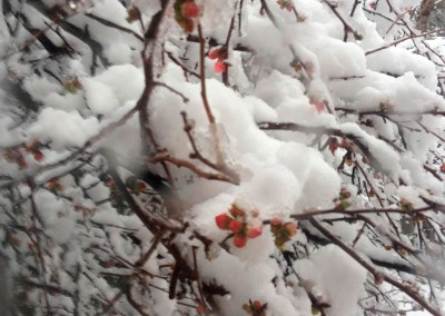 snow-quince